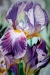 MICHAUD - iris-87x69.JPG